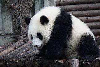 Caratteristiche dei Panda veri