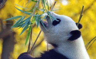 Qualche consiglio sui Panda dalla vostra blog Viola